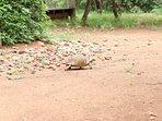 Een schildpad die net heeft gedronken uit de drinkpool