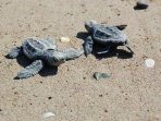 Caretta-caretta turtles have been declared,by the IUCN, as Endangered.