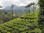 Tea Esate view