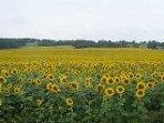 A sea of sunflowers!