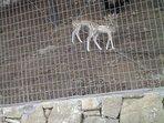 Fallow Deer at Kolimpari Monastery