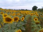 Sunflower fields nearby