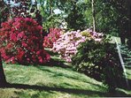 Rhododendrons are flowering