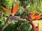 Strelitzia reginae - Crane flower, indigenous to RSA