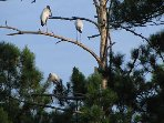 Stork friends across our lagoon