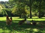 Free range pasture raised chickens