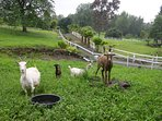 Goats and sheep in pasture