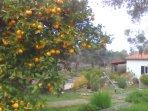 Our orange tree