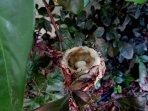 nest of a hummingbird