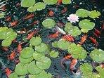Close Up of Fish Pond