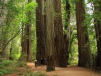 Enjoy a Trip (Plan for a Full Day) to Stroll Among the Majestic Redwoods Near the Oregon Coast.