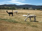 Hunter Alpacas