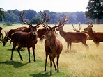 Richmond Park with its Wild Deer is just outside our house.