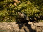 Le iguane di quartiere sono innocui e si loro posto nelle strade