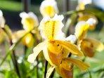 Lady Slipper Flower