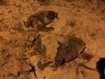 Beach 50 m near condo: two sea turtles lay eggs at night
