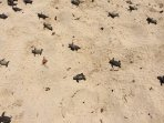Beach close to the condo: turtle hatchlings on their way to the sea