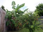 Banana and pomegranate trees in fenced-in back yard.