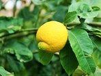 Feel free to take lemons from our lemon trees.