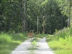 Deer wander the gravel road to the cabin.  They make great neighbors!