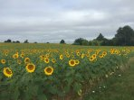sunflower fields surround the house