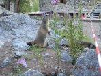 Marmote au Pré de Mme Carle ( Le Pelvoux )