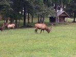 Elk enjoying the front yard