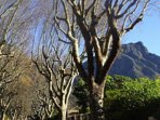Devil's Peak and the beautiful tree lined streets of our suburb - Hiddingh, Newlands