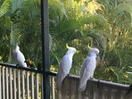 A couple of cockatoos that visit us daily.
