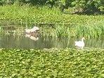 Lily ponds, Stackpole, Bosherston.