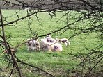Spring has sprung!  Lambs in the adjoining fields.