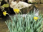 Daffodils by the trout stream