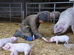 Breeding rare breed British Lop pigs on site