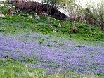 Field of bluebells.