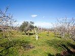 alomen and olive trees yard