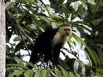 Resident white face Capuchin monkey.  All of the species of monkeys in Costa Rica  are in our area