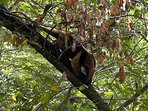 Lesser Anteater in one of our trees