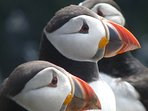 Puffins on Skomer Island. The best time to visit is late April - June.A short drive from the cottage
