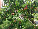 fresh cherries near the Villa!