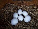 fresh eggs every morning!