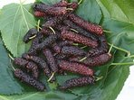 Mulberry season is from end of March to early June.