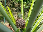 There are four tropical acres surrounding the house for you to explore! Meet a baby pineapple.