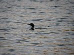 loon on perch pond