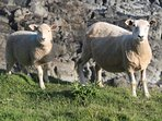 Sheep on Morte Point