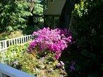 Azalea shrub in bloom