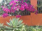 Beautiful bougainvilla at  fenced entry