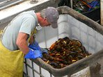 Watch the boats bring in the lobsters at the pound
