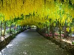 National Trust Bodnant Gardens Laburnum Arch, a great day out, take a picnic!