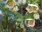 Hellebores - in garden - early spring