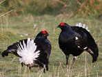 Black Grouse lekking nearby